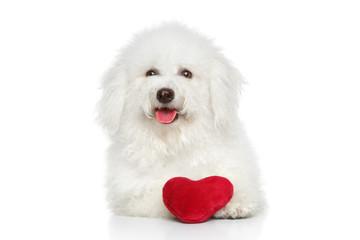 Bichon Freeze dog with valentine red heart