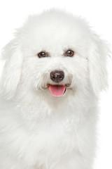 Bichon freeze dog portrait