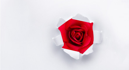 Rote Rosen als Geschenk