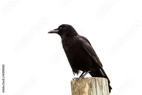 American Crow black bird on wood pole in California