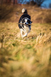 border collie to fetch poster
