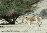 Onager (Equus hemionus) in National Reserve park near Eilat
