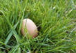 brown egg in grass