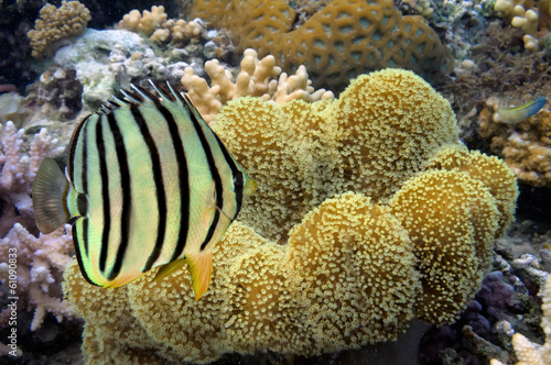 Yellow-dotted butterflyfish