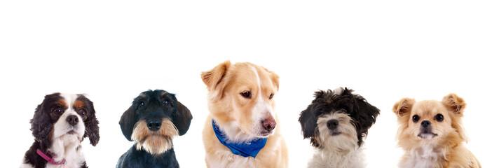 Hundeköpfe