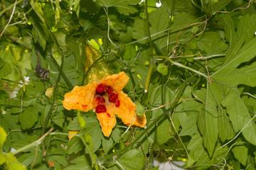 Ripe Momordica charantia or Bitter melon
