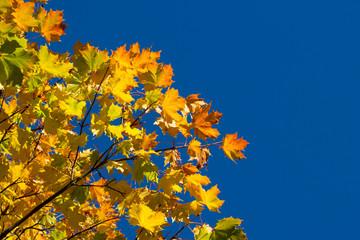 Autumn leaves against blue skies