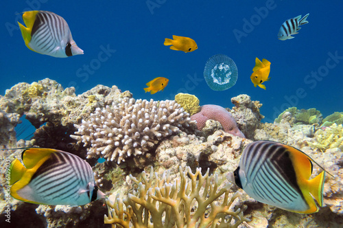 Underwater life of Red sea in Egypt. Saltwater fishes and coral