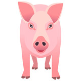 A pig on white background.