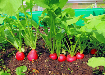 Red radish growing in the garden