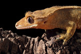 Caledonian crested gecko on a branch