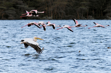 Great Pelican and Flamingos