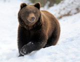 Bear in winter