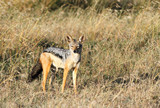 A beauitful black backed jackal