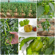 Collage of Green Peppers