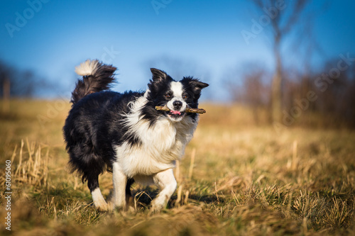border collie to fetch