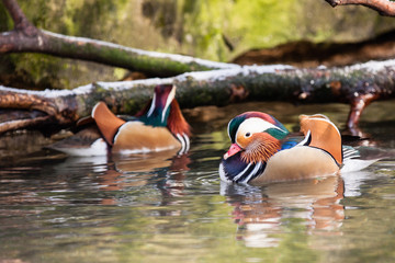 Mandarin ducks on water