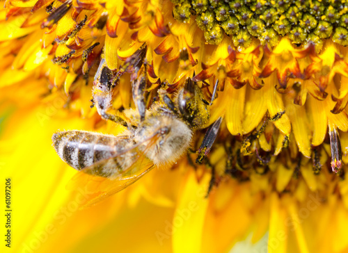 Bumblebee on a Sunflower Close-up