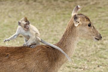 monkey rider