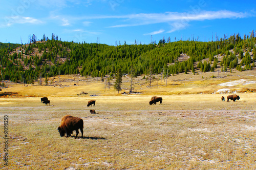 American Bison (Buffalo) in Yellowstone National Park, Wyoming