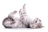 tabby Scottish kitten - 61098445