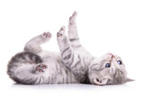 tabby Scottish kitten - Fine Art prints