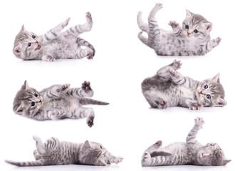 six tabby Scottish kittens