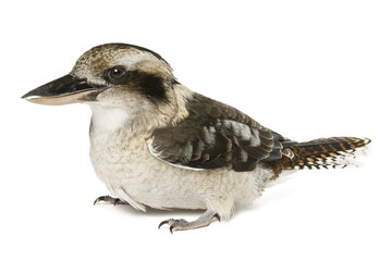 Kookaburras (genus Dacelo) 10 years old on white background.