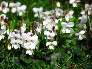 White violets on green grass.