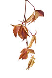 autumn leaves of vine