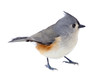 canvas print picture - Tufted Titmouse Isolated