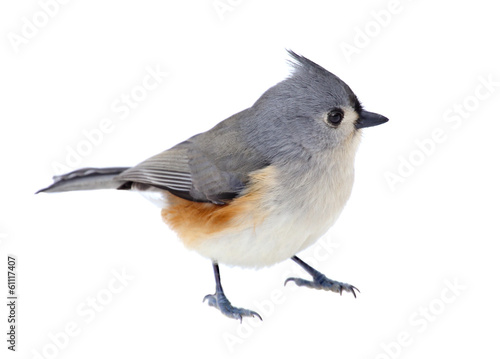 Fotobehang Vogel Tufted Titmouse Isolated