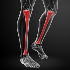 3d render illustration tibia - front view