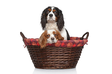 Cavalier King Charles spaniels in wicker basket