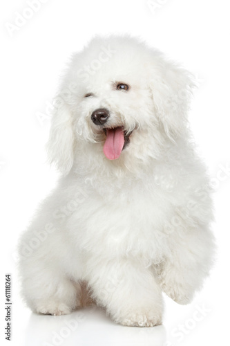 Bichon-Frise dog portrait