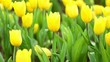 plenty of yellow tulip in garden