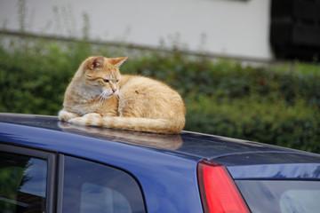 Katze auf Autodach