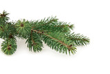 branch of fir-tree