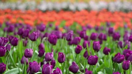 Plenty of tulip in garden