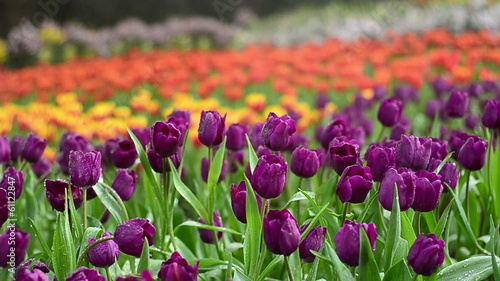colorful tulips in garden, pink  yellow and red