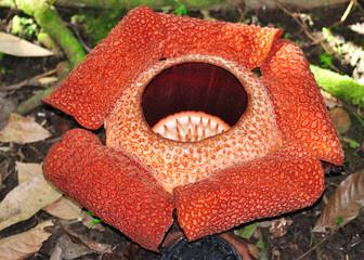 Rafflesia keithii, World biggest flower, Sabah Malaysia