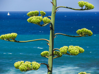 Palinuro, agave