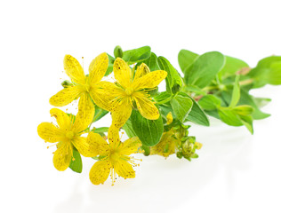 Herb St. John's wort on white.