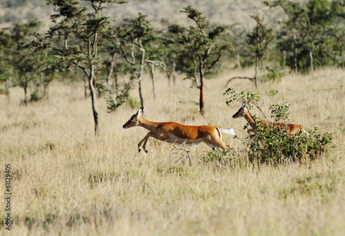 Beautiful Impalas running in the grassland