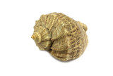 big brown seashell on white background