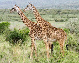 A pair of Giraffe standing upright