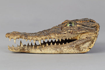 tête de crocodile empaillée