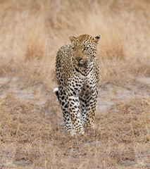 Beautiful large male leopard walking in nature