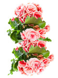 Beautiful begonia flowers isolated on white background.