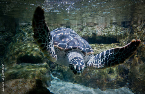Foto op Aluminium Beijing turtle swimming in large fish tank